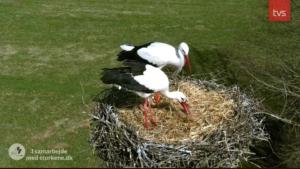 03.april: så er der to storke i Smedager