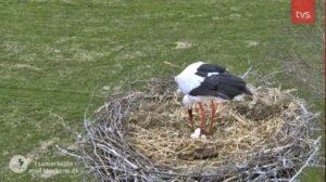 14.april 2021: tre æg i Storkereden i Smedager