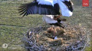 Storkereden i Smedager - 4 æg - 16.april 2021