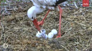 fredag den 14.maj: første æg klækket
