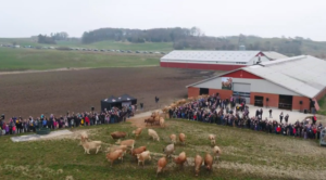 220 jerseykøer lukket ud i Skive