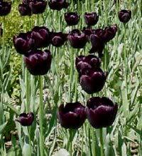 66 atletiske idrætsfolk på tur til Amsterdam i 1998 – den sidste dag blev der shoppet vildt ind på blomstermarkedet og pose efter pose med løg blev pakket i bussen. Det helt store hit var Sorte tulipaner eller nærmere håbet om, at man havde fået fat i de rigtige løg… Jeg venter stadig i spænding på at høre fra dem som fik sorte tulipaner ud af det…