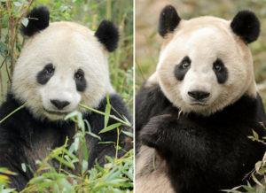 4. april lander de to kinesiske pandaer Xing Er (tv) og Mao Sun (th), og når kalenderen skriver 11. april kan offentligheden for første gang møde de to sorthvide bjørne. Pr-foto: Zhang Zhihe