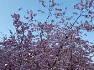 Kirsebærtræerne på hjørnet af Mindegade og Mindebrogade er sprunget ud