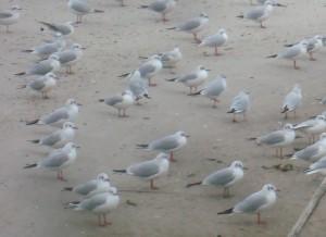 Måger i Århus Havn