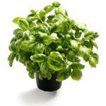 Basilikum kan gro 20 meter under jorden ?!