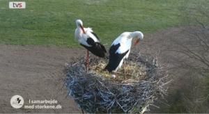 storkene06042019 - det tager ca. 30 dage at udruge et æg