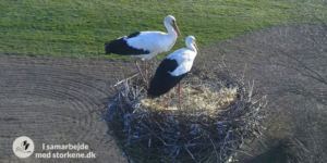 Storkene i Smedager 02.april 2019