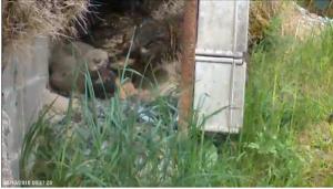 Live fra grusgraven: Stor hornugle er tilbage på reden